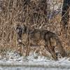 Coyote CVNP 0311