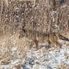 Coyote CVNP 0166