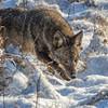 Coyote CVNP 0105