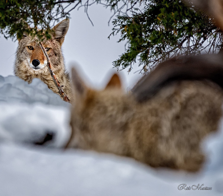 . Coyotes of Rocky Mountain National Park  Rick Martinez