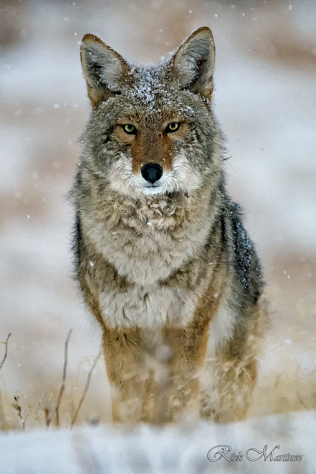 Coyotes of Rocky Mountain National Park