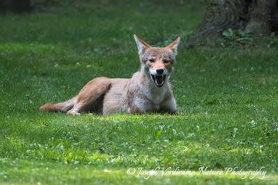 Coyote grin