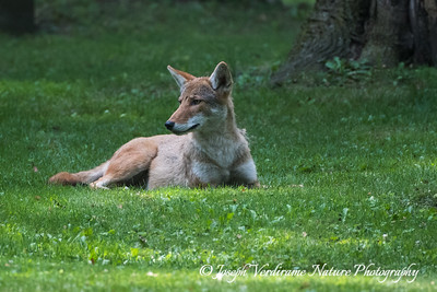 Coyote at rest