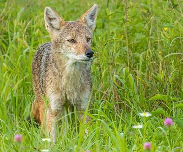 coyote cades cove