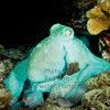 Atlantic Octopus