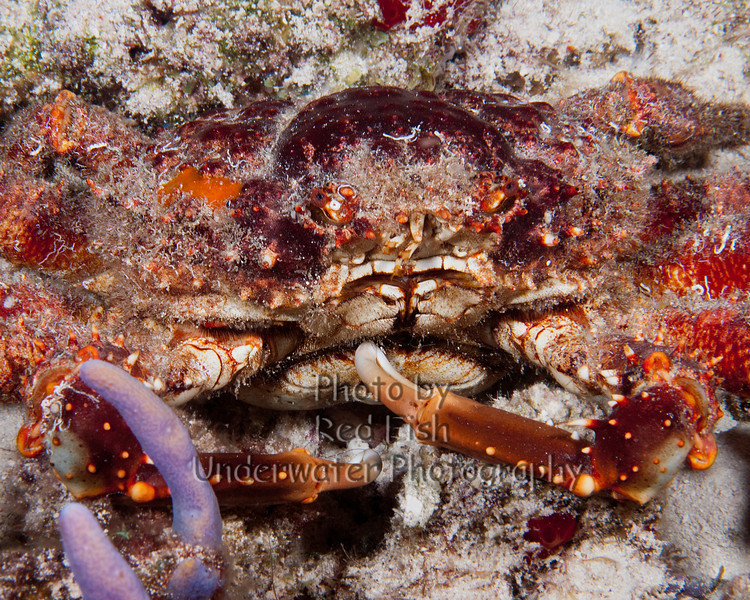 Carribean Chanel Crab