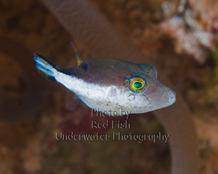 Goldface Goby