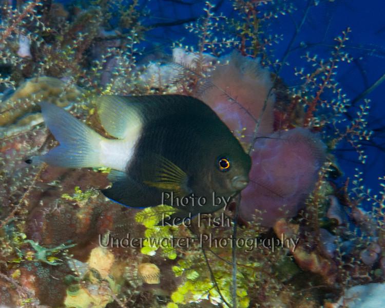 BiColor Damselfish