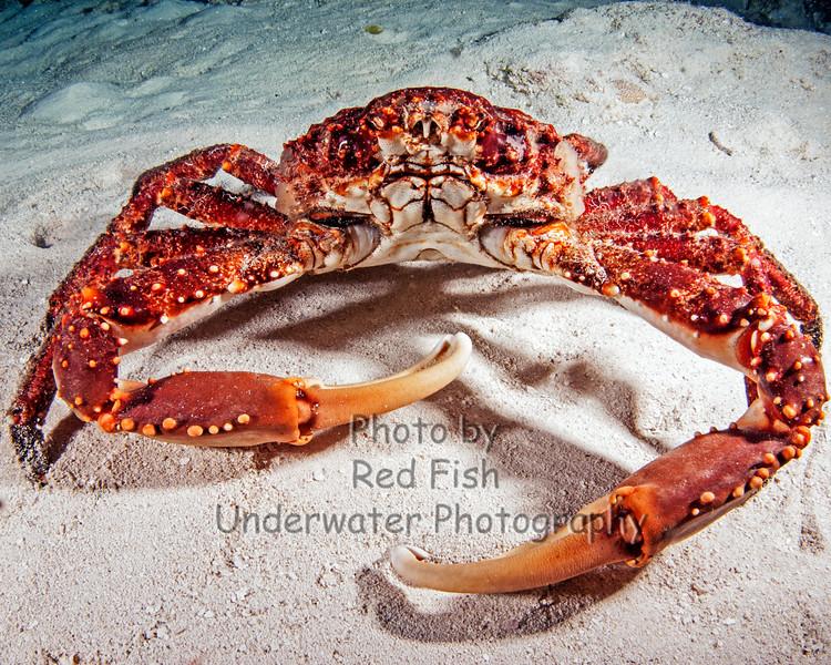 Channel Crab