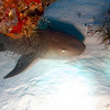 Nurse shark. 6-7 feet