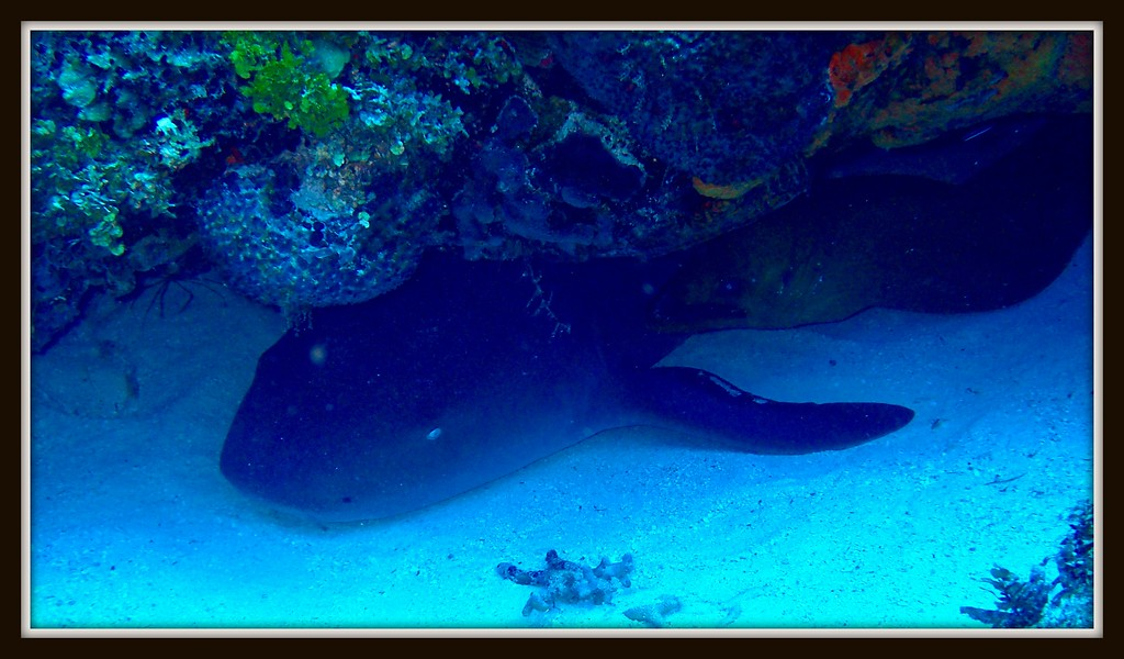 NURSE SHARK *GINGLYMOSTOMACIRRATUM)