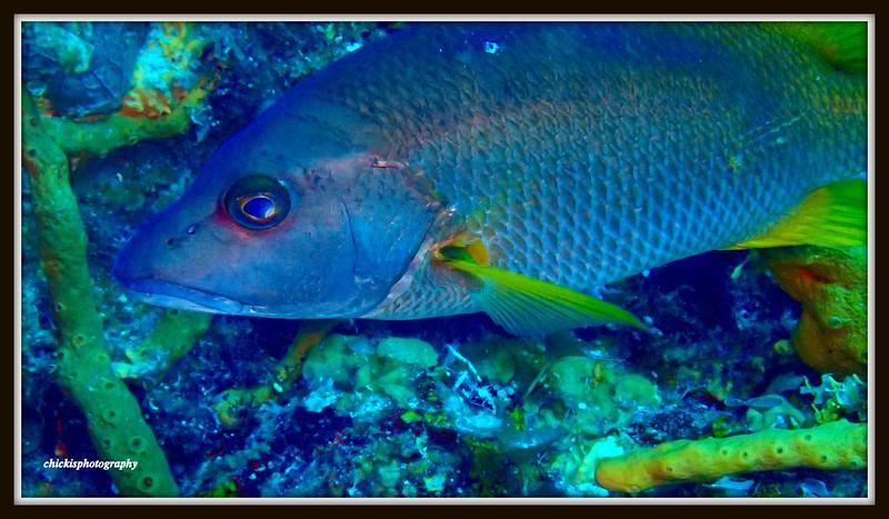 School master Fish