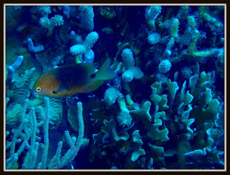 Brown Damsel Fish