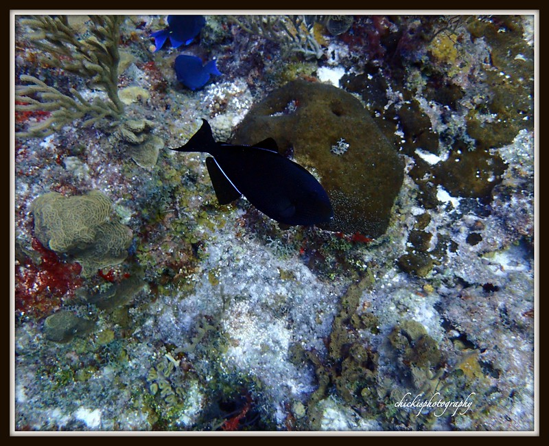 BLACK DURGON0 SOMETIMES CALLED A BLACK TRIGGER FISH