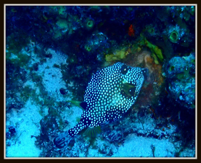 SMOOTH TRUNK FISH