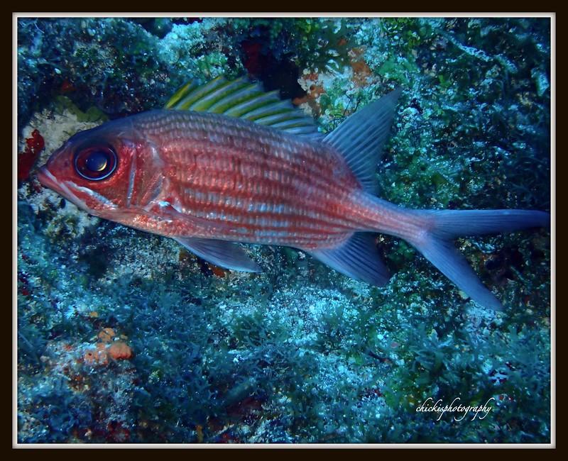 SQUIRREL FISH