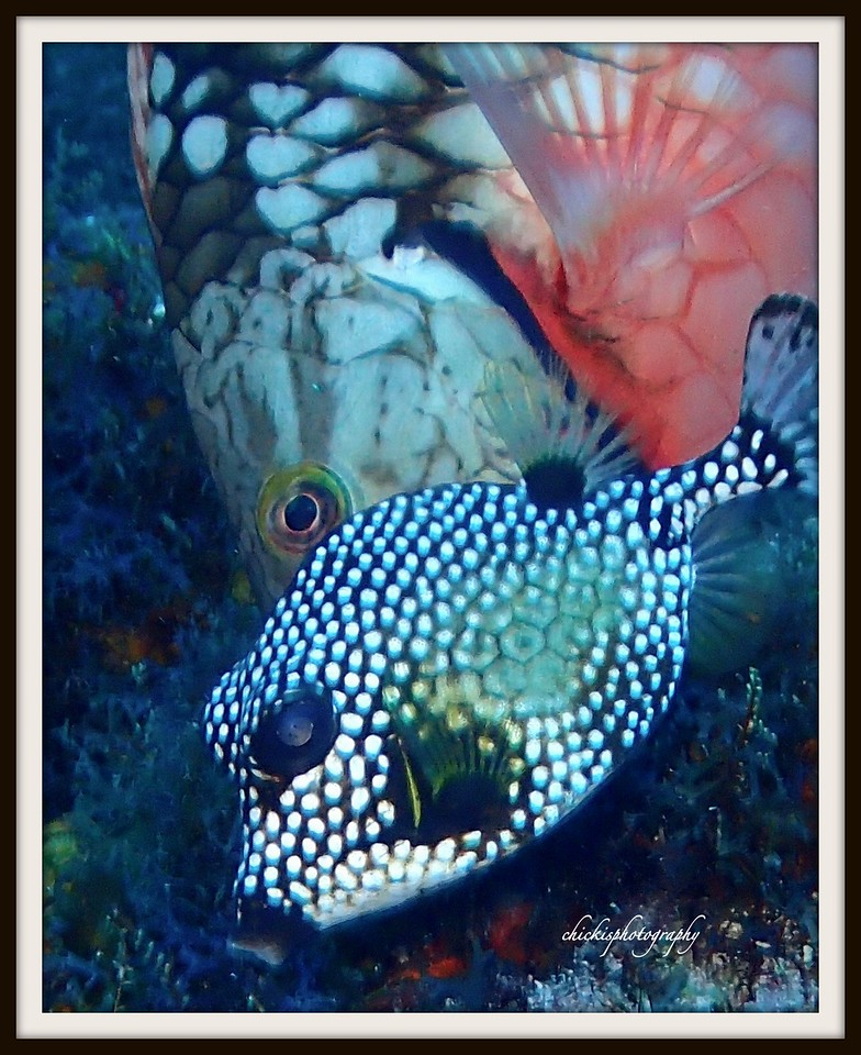 SMOOTH TRUNKFISH AND STOPFLIGHT PARROT FISH