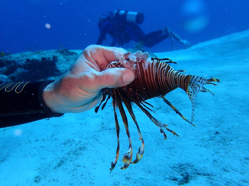 Lion Fish eating a shrimp