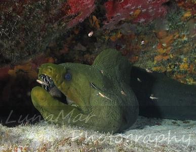Giant Morey Eel