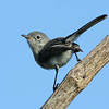 blue-grey gnatcatcher.jpg
