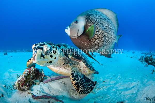Turtle and Angelfish Playing