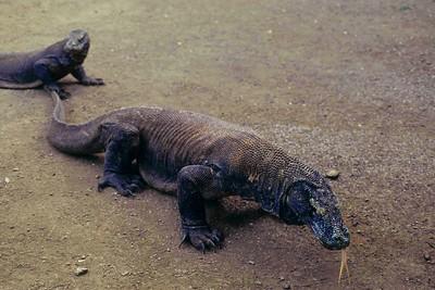 Varan de Komodo, Indonesie