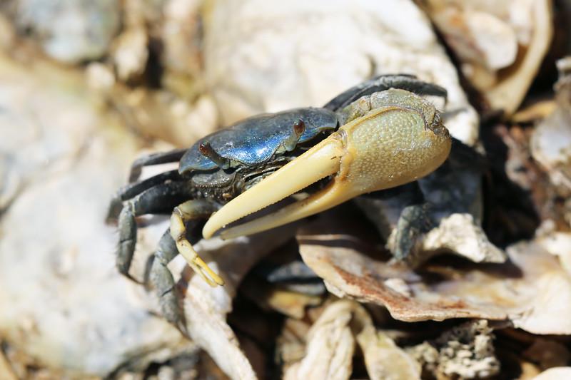 Fiddler Crab (Uca)