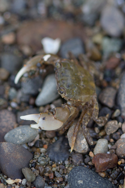 Unidentified Crab (Brachyura)