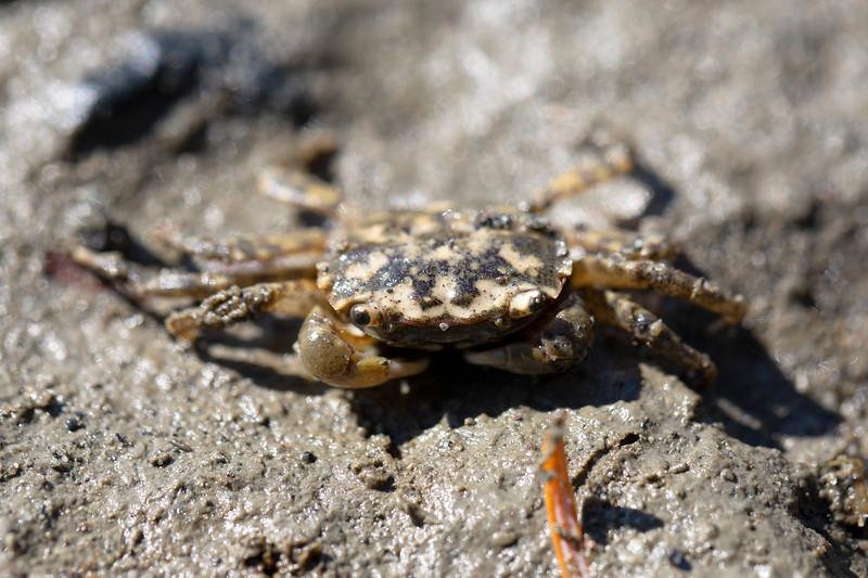 Crab (Brachyura)
