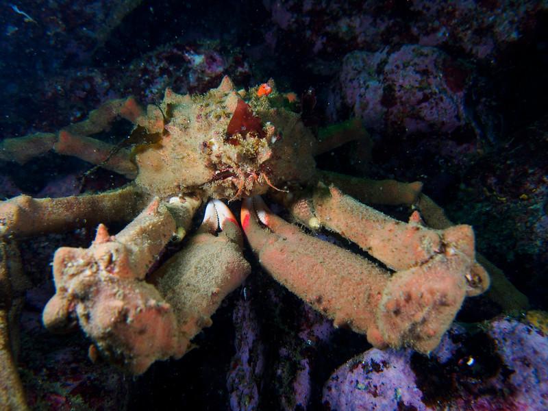 Moss Crab