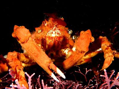 Loxorhynchus crispatus (moss crab)