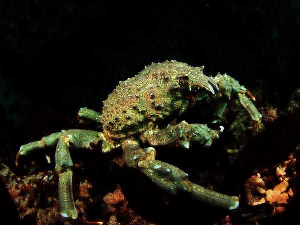 Loxorhynchus grandis (sheep crab)