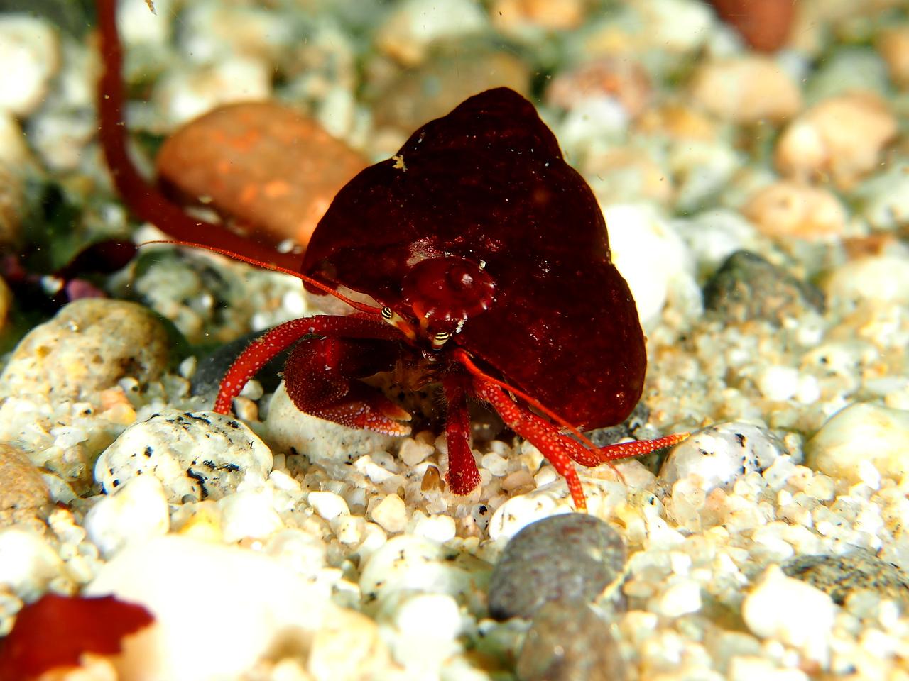 Maroon Hermit Crab