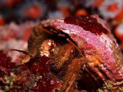 Paguristes ulreyi (hairy hermit crab)