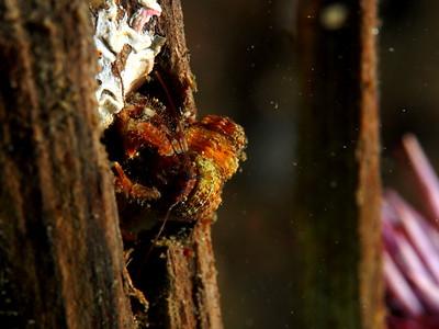 Pagurus armatus (blackeyed hermit)