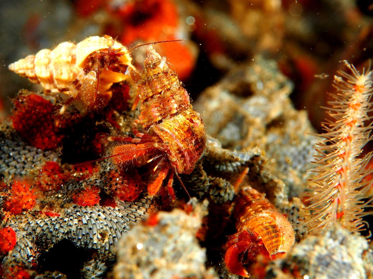 Blackeyed Hermit Crab