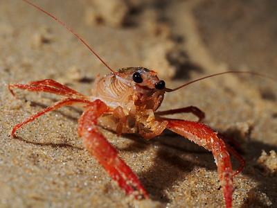 Pleuroncodes planipes (pelagic red crab)