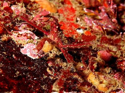 Podochela hemphilli (hemphill's kelp crab)
