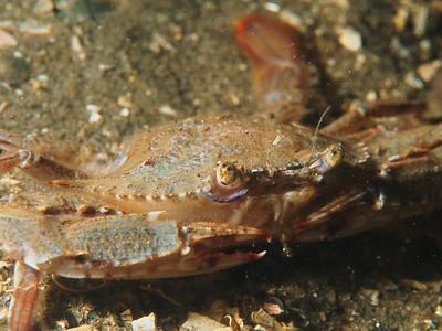 Portunus xantusii (xantus' swimming crab)