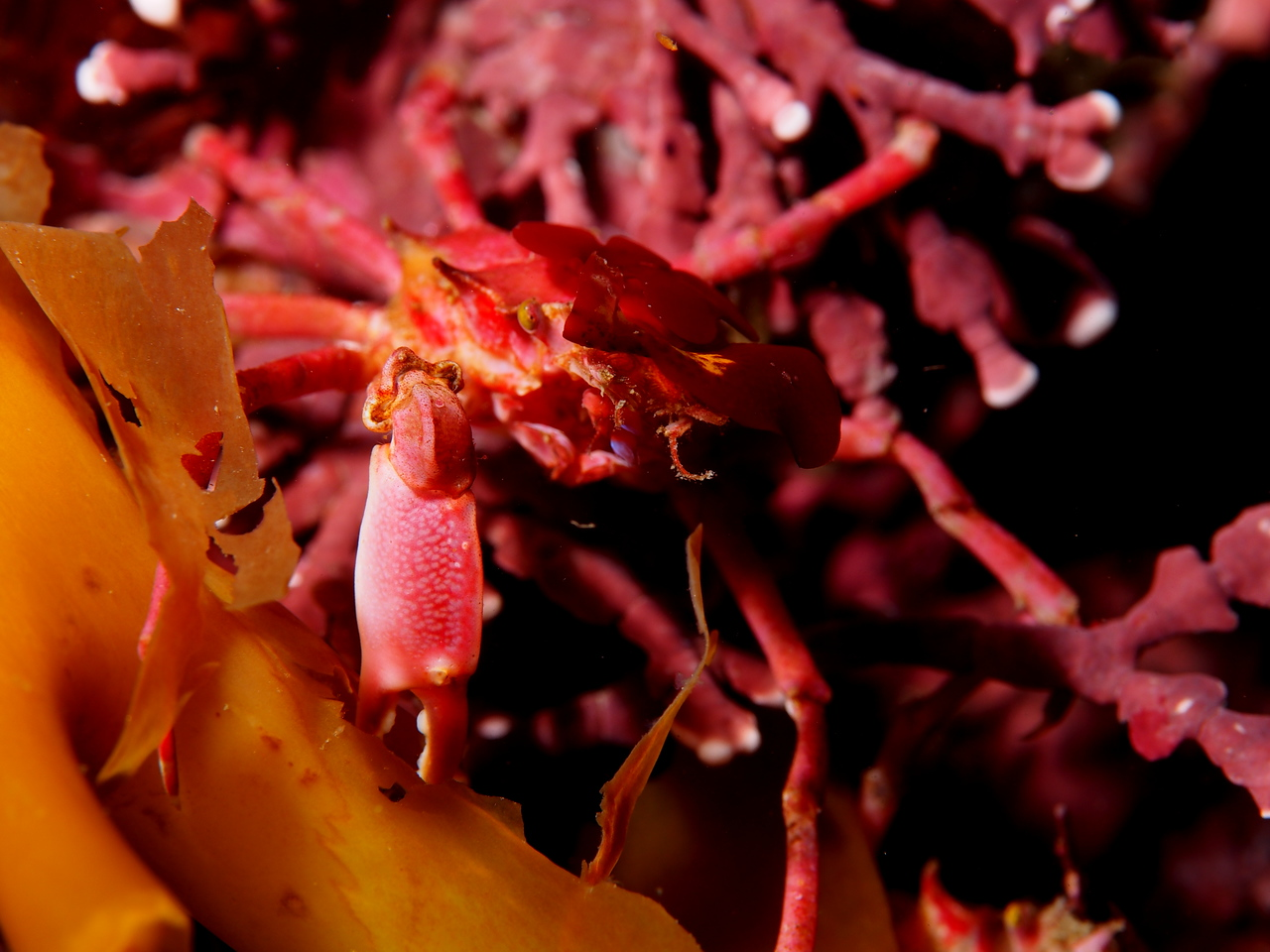 Cryptic Kelp Crab