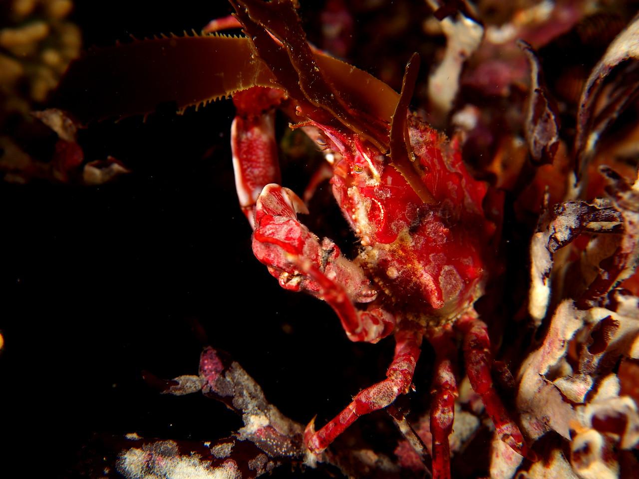 Cryptic Kelp Crab