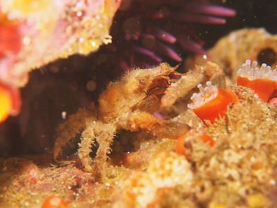 Scyra acutifrons (sharp-nosed crab)