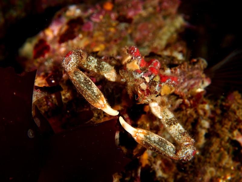 Sharp-nosed Crab