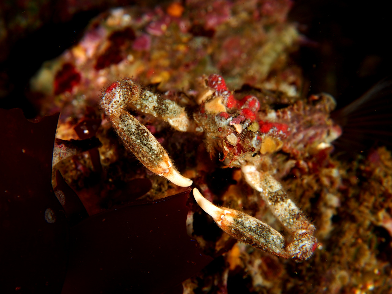 Sharp-nosed Crab
