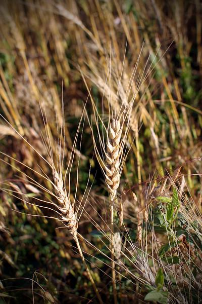 0614 Wheat.