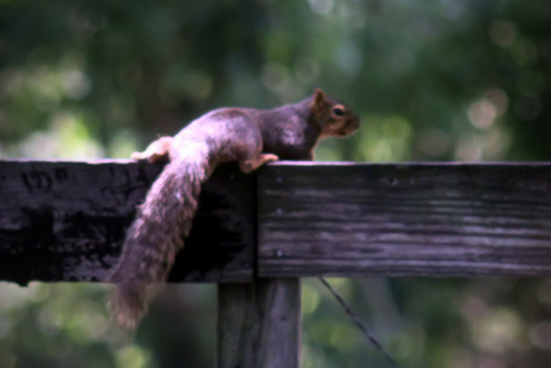 0716 Squirrel laying on the fence.