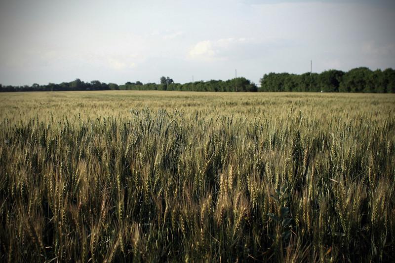 0531 Winter Wheat.