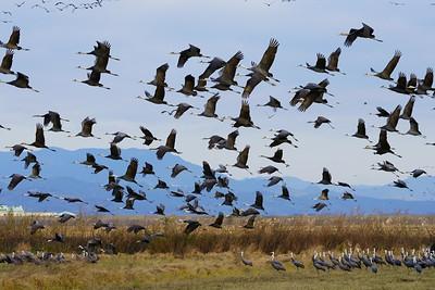 ナベヅル(Hooded crane)
