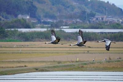 マナヅル(White-necked crane)