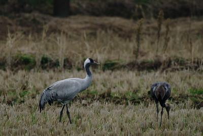 クロヅル(Common crane)